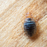 5 Natural Remedies for Bed Bugs